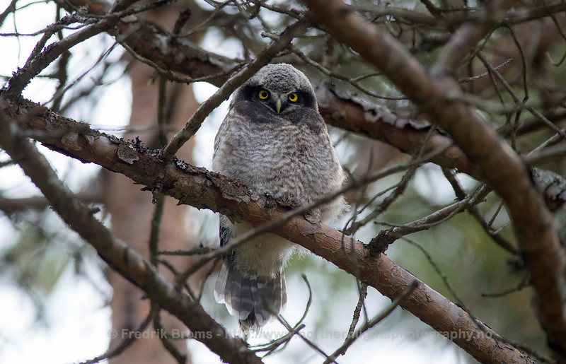 Young Hawk-Owl, Norway