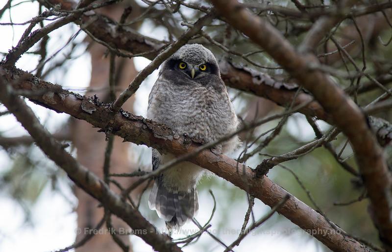 Northern Hawk Owl - Haukule - Surnia ulula