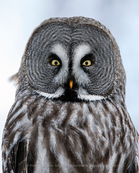Great Grey Owl, Close-up, Finland