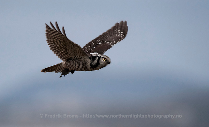 Northern Hawk Owl with Vole, Norway