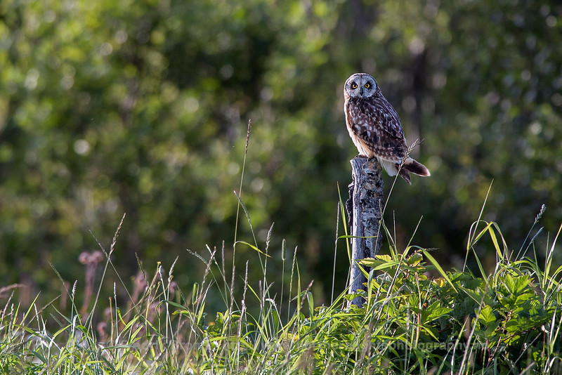 Young Short-Eared Owl, Norway