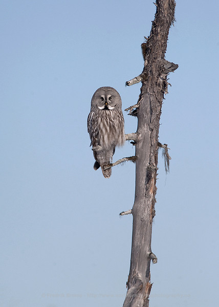 Resting Great Grey Owl, Finland