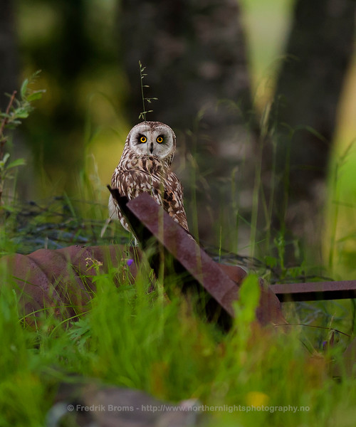 The Stare - Short-Eared Owl, Norway