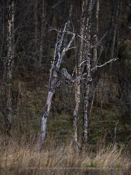 Great Grey Owl, Northern Norway
