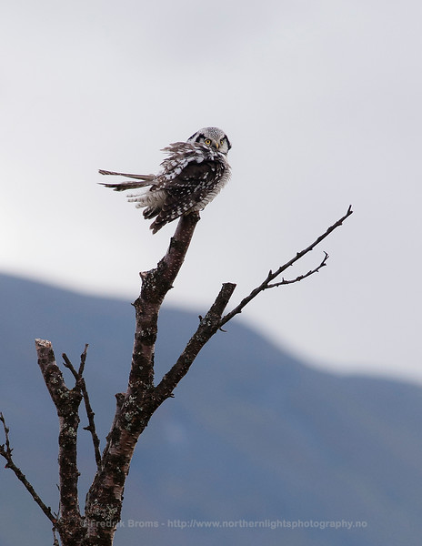 Northern Hawk Owl in strong wind, Norway