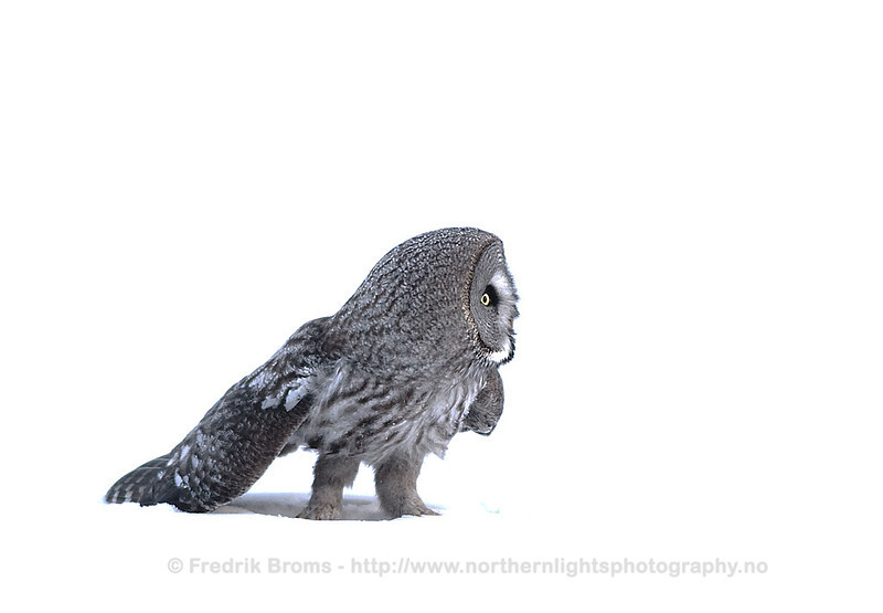 Great Grey Owl, Finland