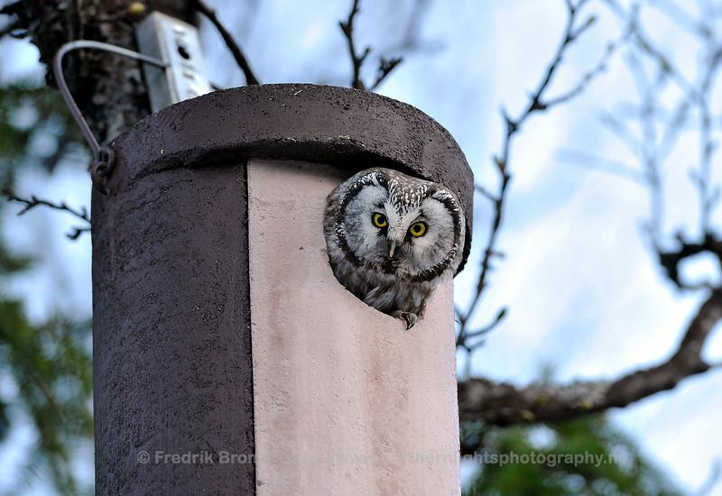 Tengmalms Owl, Norway