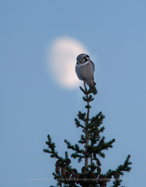 Hawk Owl in front of the Moon, Norway