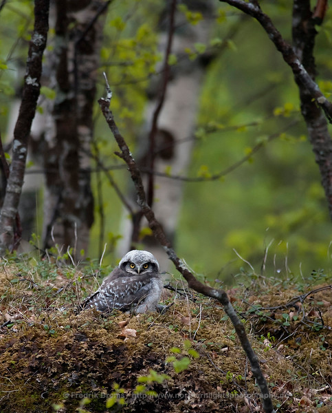 Hawk Owl, Troms, Norway