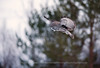 Great Grey Owl hovering over a Prey, Finland