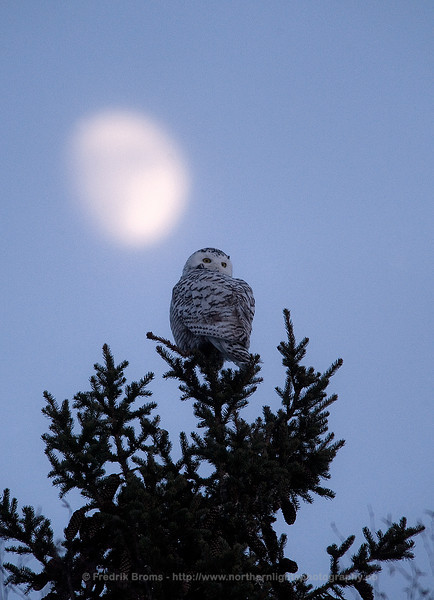 Snowy Owl on a Winter Night, Finland