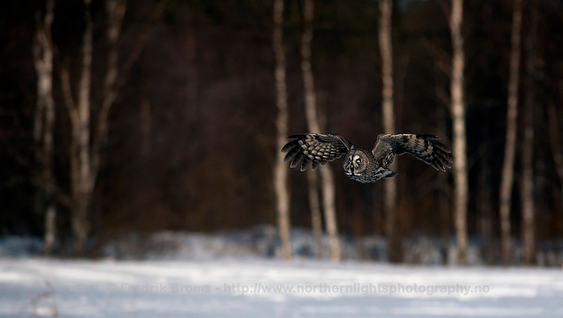 Great Grey Owl in the Evening, Finland