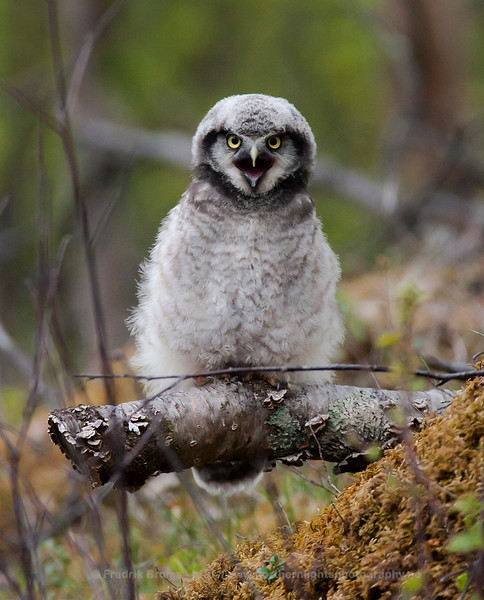 Young Hawk Owl begging for Food, Norway