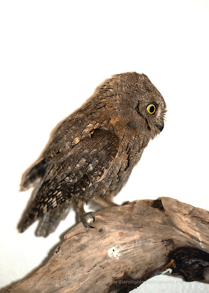 Scops Owl (The photo shows a Scops Owl in captivity after the owl was found in Tromsø in October 2013 which is probably the northernmost sighting of the species ever?).