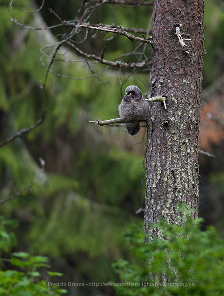 Hawk-Owl fledgling, Norway