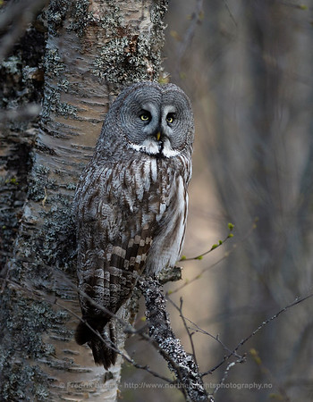 Great Grey Owl, Troms, Norway