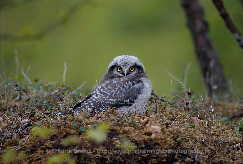 Hawk Owl, Northern Norway