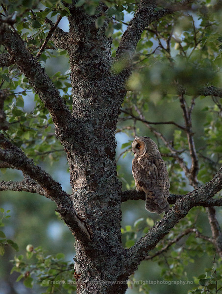 Long-eared Owl in Tree, Norway