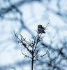 Hawk Owl on a Cold February Day, Norway