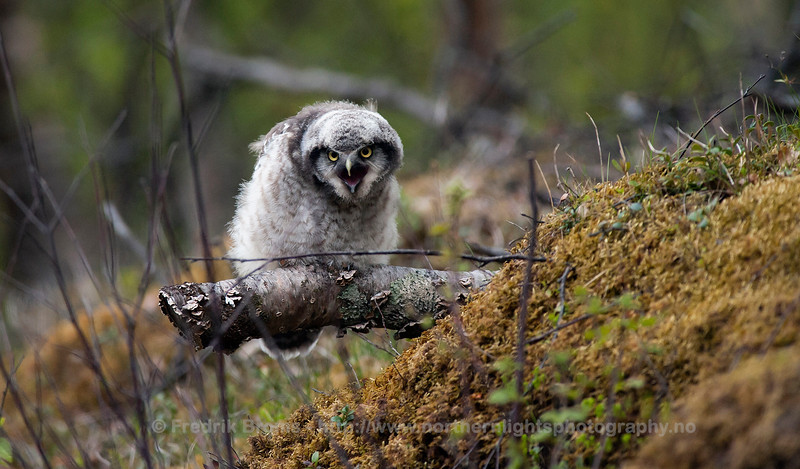 Newly-fledged Hawk Owl, Norway