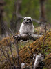 Newly fledged Hawk Owl, Norway