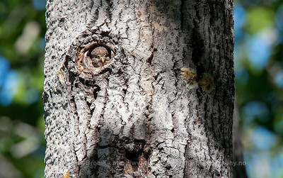 Pygmy Owl - Spurveugle - Glaucidium passerinum
