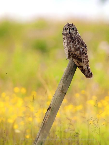 Short-Eared Owl, Norway