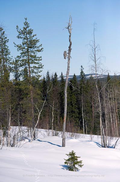 Great Grey Owl in Typical Habitat, Finland