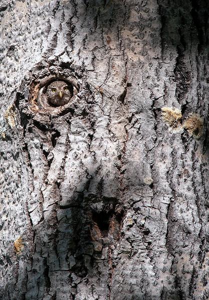 Pygmy Owl in its Nest, Norway