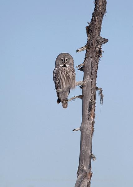 Resting Great Grey Owl, Finland