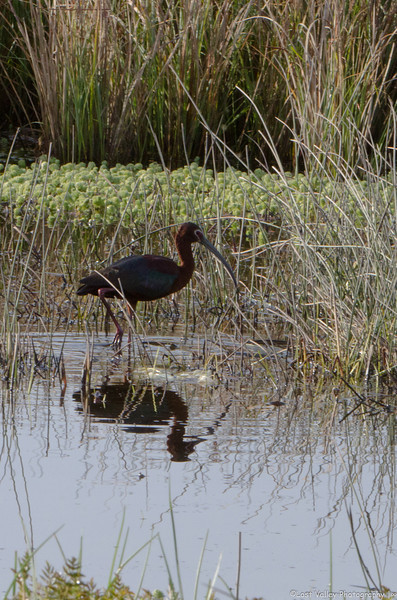 ADULT WHITE- FACED IBIS