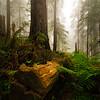 Del Norte - Fallen Redwood