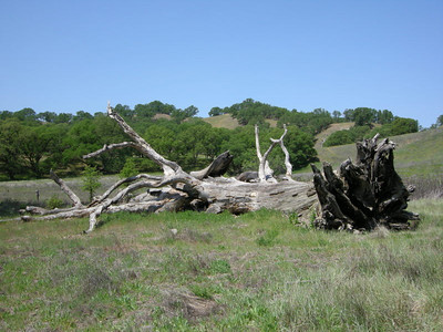 A dead tree next to camp  I stayed away - paranoid about rattlers!