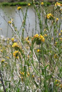 Name: Fiddleneck (Amsinckia menziesii) Location: Cache Creek Natural Area Date: April 19, 2008