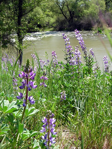 Lupine and Cache Creek