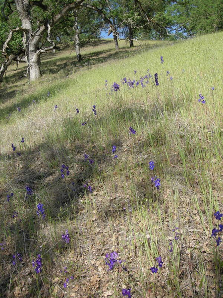 Larkspur field along the trail