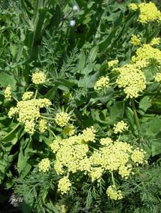 Bladder Parsnip, Common Lomatium (?)
