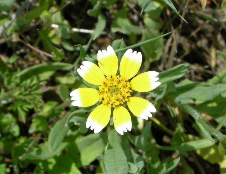 Name: Smooth Tidy Tips (Layia chrysanthemoides)<br /> Location: Cache Creek Natural Area<br /> Date: April 19, 2008
