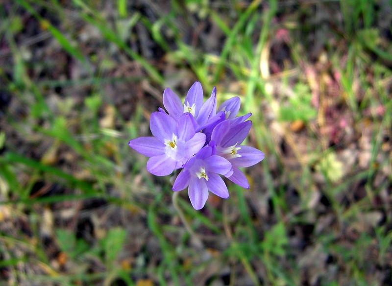 Blue Dicks, Wild Hyacinth, Common Brodiaea