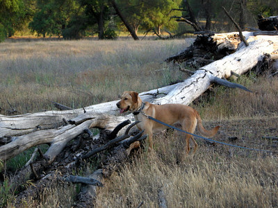 B was having far too much fun chasing lizards in this dead tree.