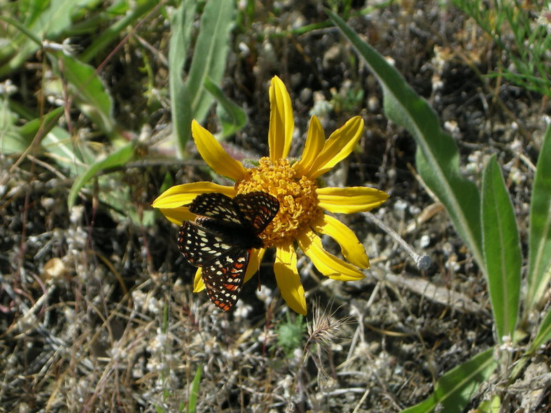 Mule ear and butterfly