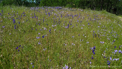 Field of Larkspur and Ithuriel's Spear