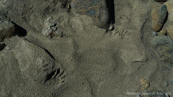 Otter (?) tracks near the smaller feeder creek