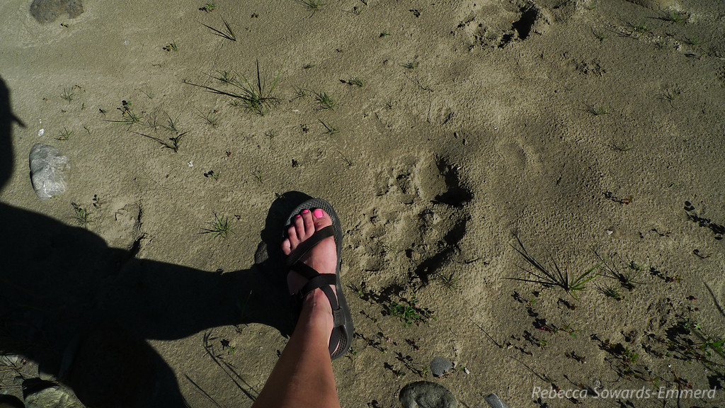 Bear prints (and my foot for scale)