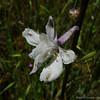 White larkspur - close up