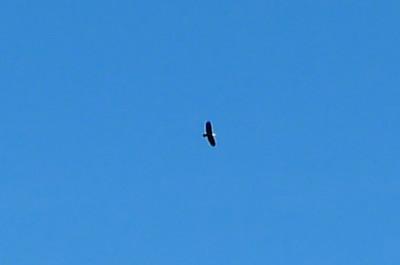 A bald eagle