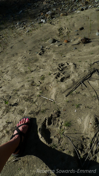 Bear tracks (and my foot for scale)