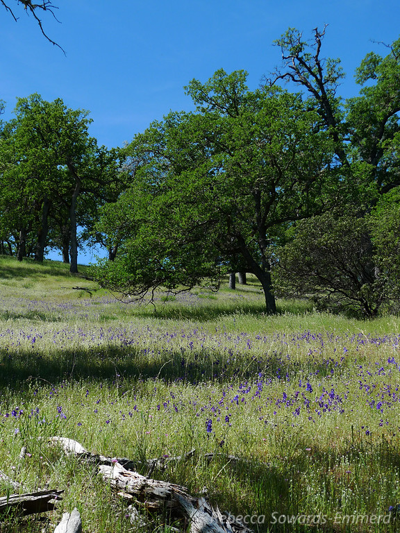 Hillside of Larkspur