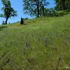 Dense hillsides of Larkspur