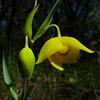 Globelily
